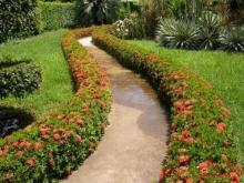 Cây mẫu đơn trồng viền