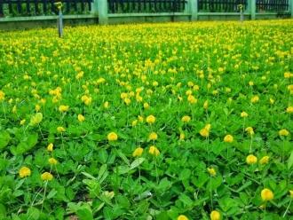 Thảm cỏ lá lạc